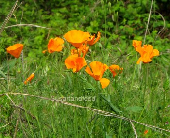 Beautiful California Poppys