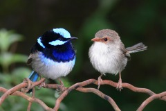 Male_and_female_superb_fairy_wren