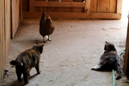 First-Encounter-New-Hen-and-Barn-Cats