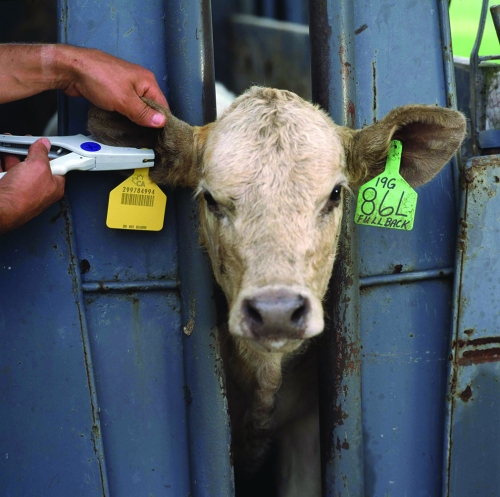 food-safety-producers-today-ear-tags-on-cattle